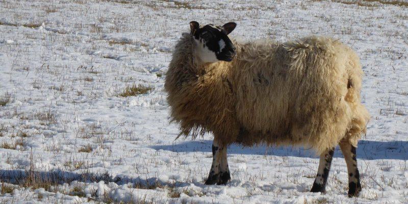 Feb - Sheep