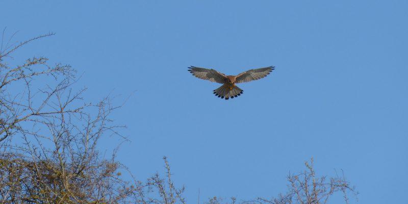 June - Sparrow hawk