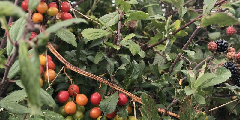 September - Blackberries