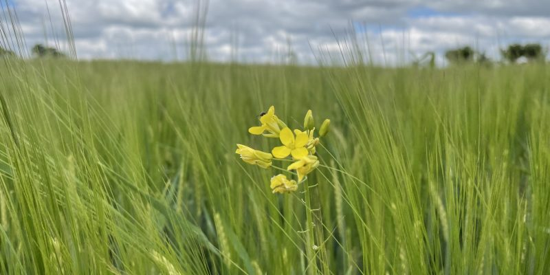 Summer crop of barley