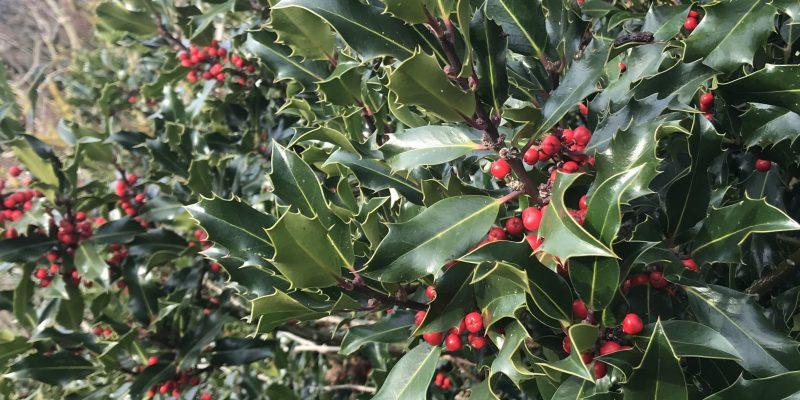 December - Holly