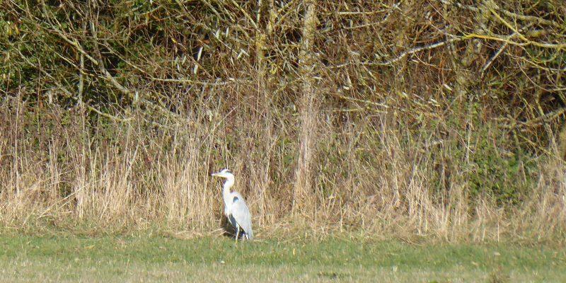 Nov - Heron