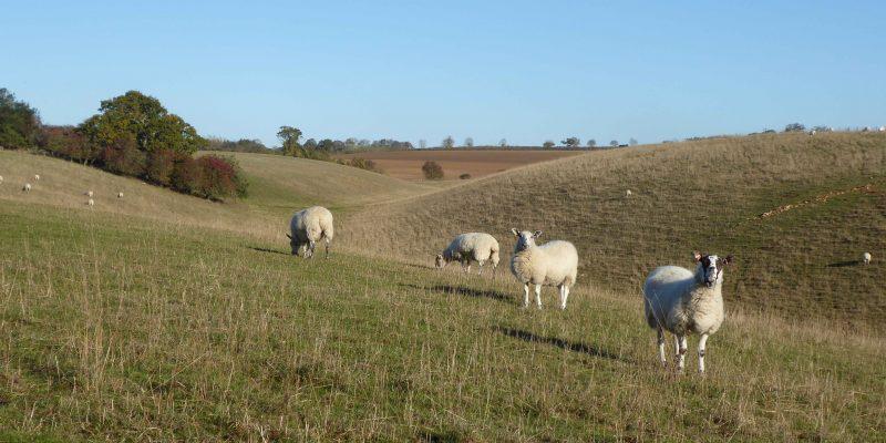May - Sheep